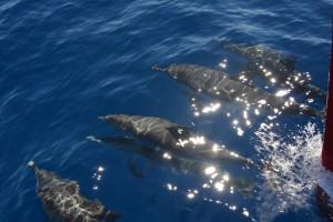 Fleckendelfine in der Bugwelle, Spotted dolphins