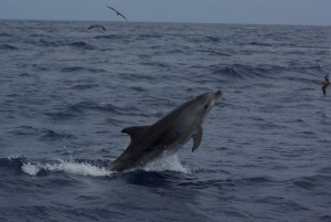 Bottlenose dolphin breaching, Großer Tümmler