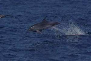 Fleckendelfin hat es eilig, Spotted dolphin