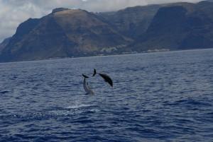 Bottlenose dolphin, Große Tümmler vor dem Valle Gran Rey